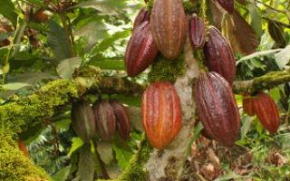 Где растет дерево какао?