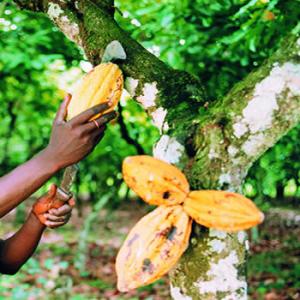 Живое какао - самое натуральное какао