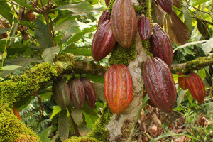 какао дерево 2